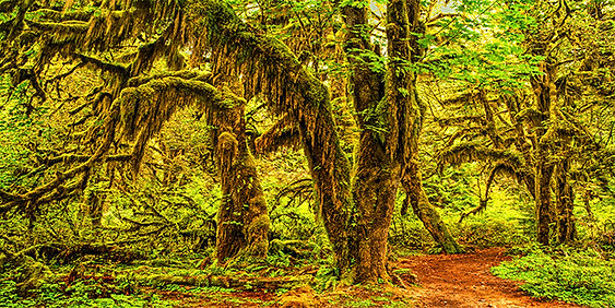 Deep in the Hoh Rainforest
