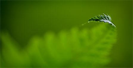 Close-up of a fern tip