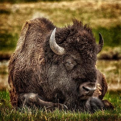 Buffalo sleeping in Yellowstone National Park