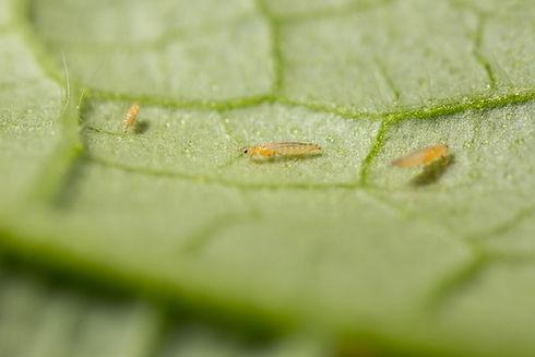 Frankliniella occidentalis_Koppert BIolo