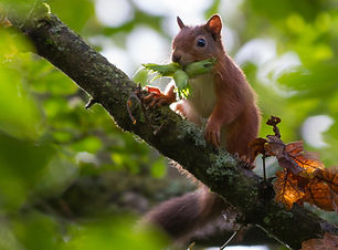 Red squirrell at Clarke's Bog Copyright