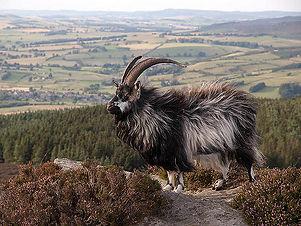 Cheviot goat