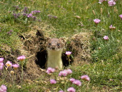 Stoat in burrow