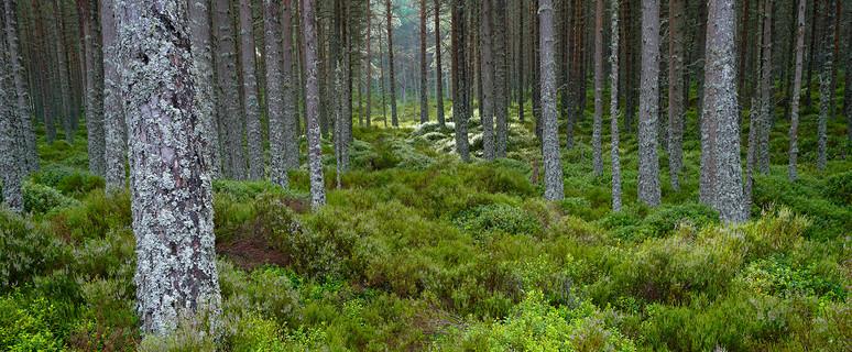 Pine forrest cairngorm (2/6)