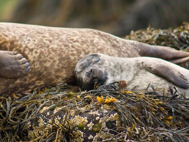 Coruisk seals - Skye