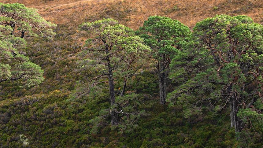 Torridon pine