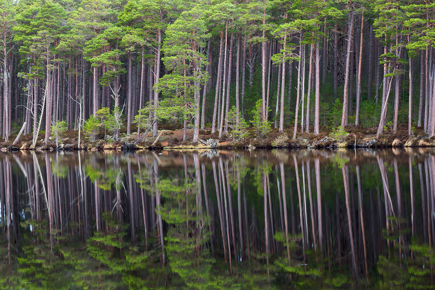 Reflected Caladonian Pine (2/5)