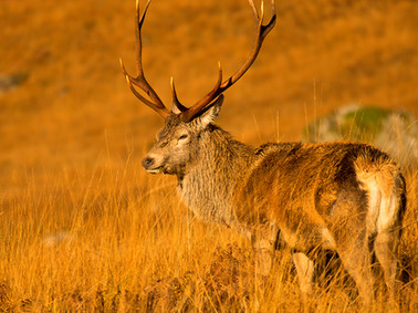 Autumn stag Glen Etive