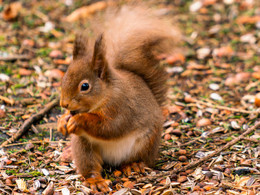 Incree Red Squirrel