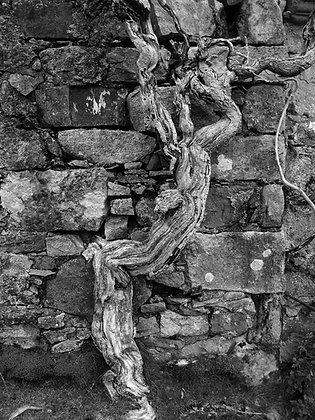Dead tree at Cill Chriosd - road to Elgol
