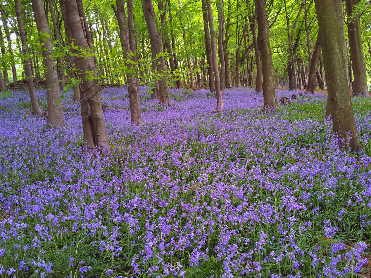 Bluebell Wood Fife