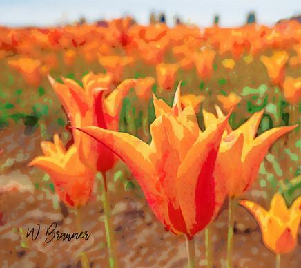 Orange Tulip Field