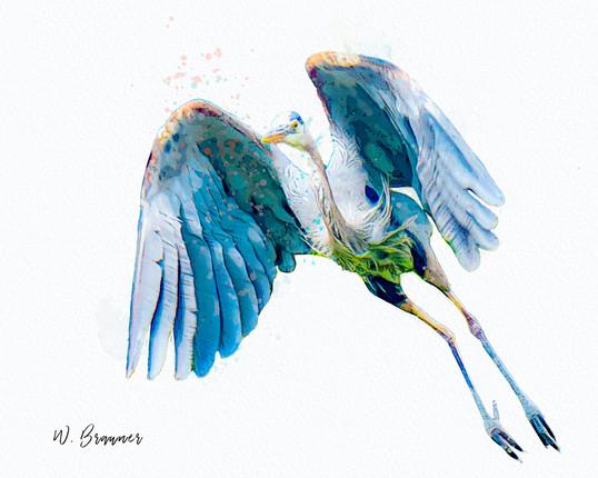 Blue Heron, Olympic Peninsula, WA.jpg