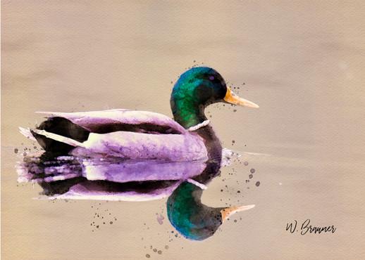 Mallard Duck, Canby, Oregon