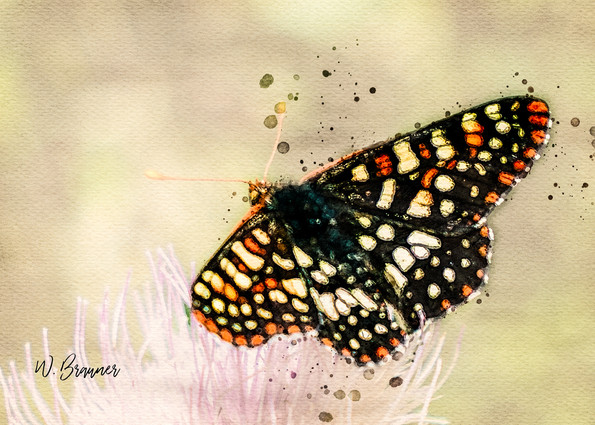 Painted Lady Butterfly, Hetch Hetchy, CA