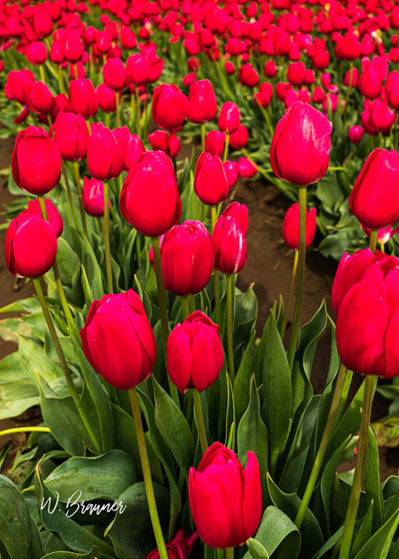 Red Tulips, Woodburn, Oregon
