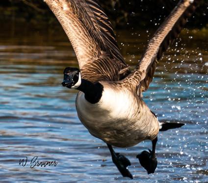 Canadian Goose in Flight, Huntington Beach