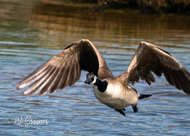 Canadian Goose, Huntington Beach, CA
