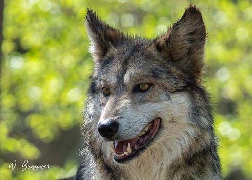 Gray Wolf, Joshua Tree Park