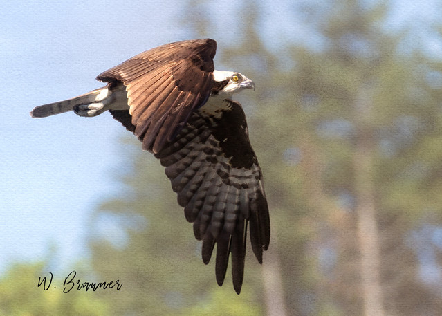 Osprey on the Hunt, Umpqua River, OR