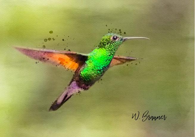 Green Breasted Hummingbird
