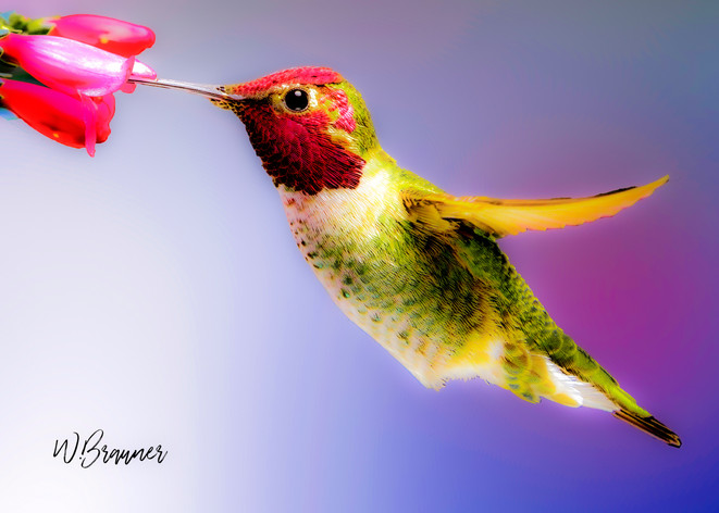Feeding Hummingbird