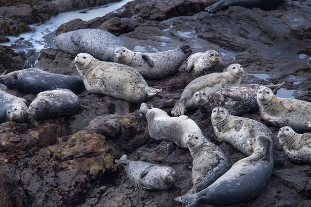 Sea Lions Pescadero