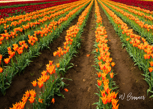 Forever Tulips, Woodburn, Oregon