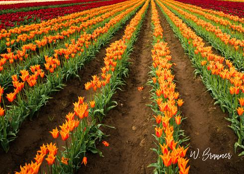 Forever Tulips, Woodburn, Oregon