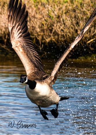 Flying Canadian Goose, Huntington Beach