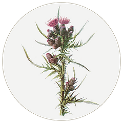 Milk thistle.png