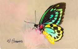 Spotted Butterfly