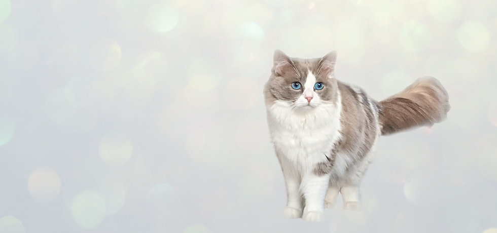 best ragdoll breeder oregon