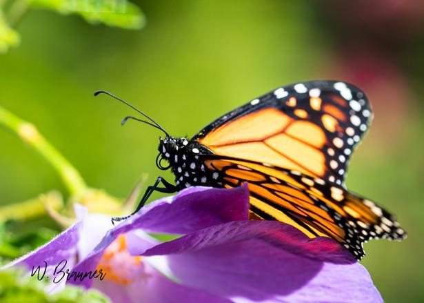 Resting Monarch, Palm Desert, CA