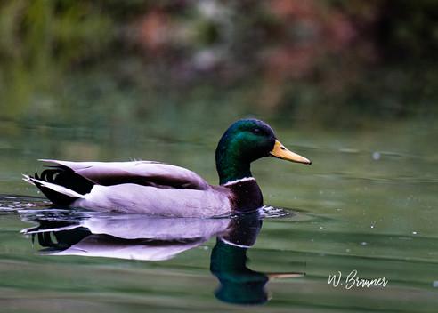 Drake Mallard, Oregon