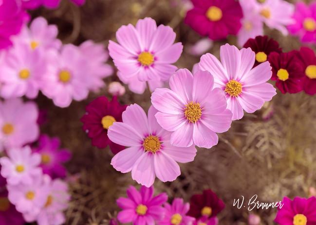 Pink Cosmos, Oregon