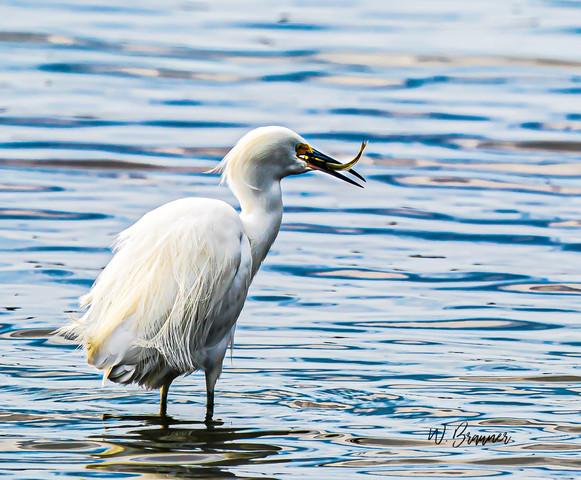 White Heron with a meal, Huntington Beach, CA