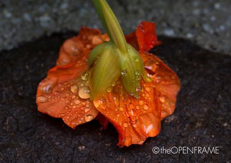 Nasturtium Flower 2