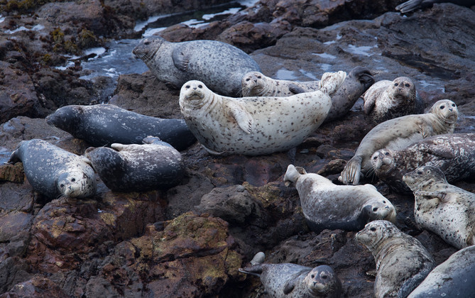 Sea Lions 2 Pescadero