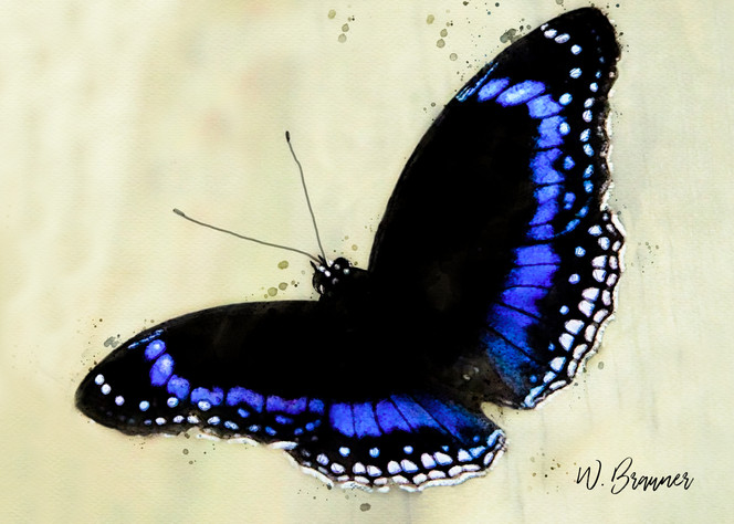 Blue Banded Butterfly