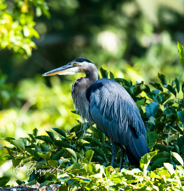 Blue Heron, Umpqua River, OR