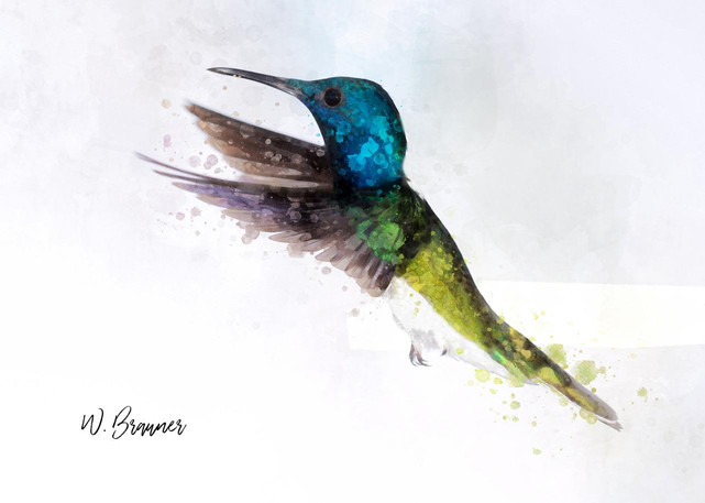 White Necked Jacobin.jpeg