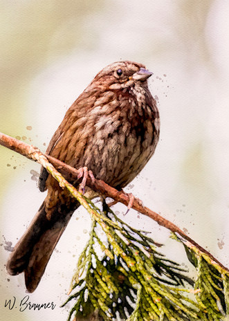 Brown Sparrow, Bainbridge Island, WA