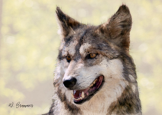 Gray Wolf, Joshua Tree Park