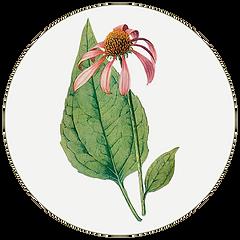echinacia.png