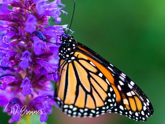 Butterflies/Flowers