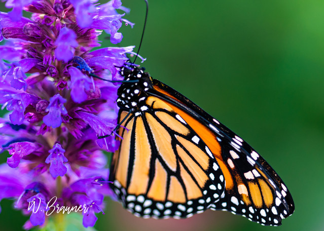 Monarch on a Purple Flower, Palm Desert, CA