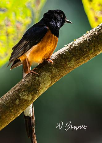 Orange Breasted Blackbird, Hawaii- Photo