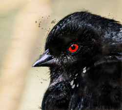 Red Eyed Blackbird
