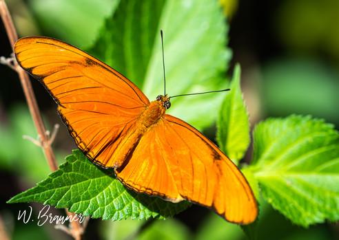 Orange Butterfly-Palm Desert, CA